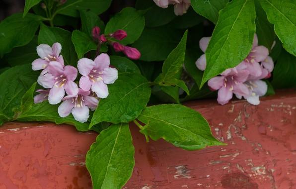 Картинка Pink flowers, Розовые цветы, Вейгела, Weigela