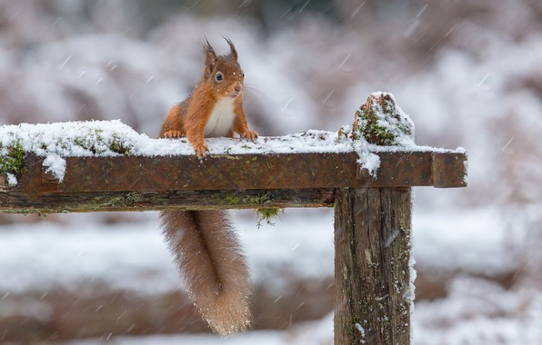 Картинка зима, снег, белка, хвост, рыжая