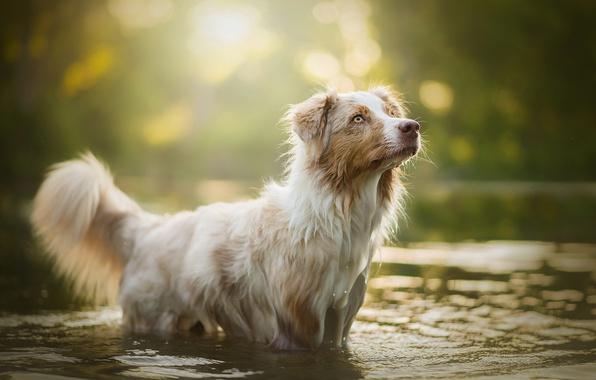 Картинка вода, блики, собака, боке, Ellie