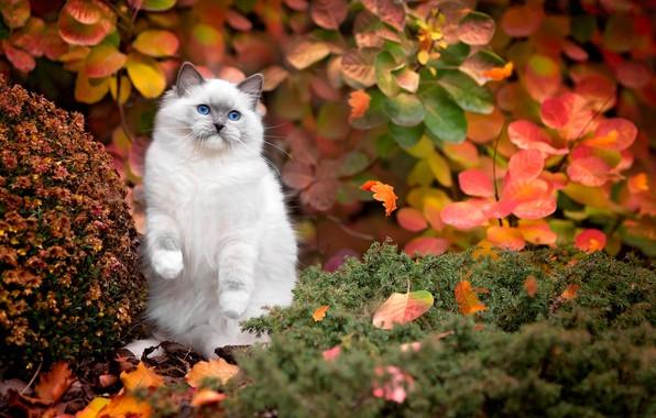 Картинка осень, кошка, белый, трава, кот, листья, природа, голубые глаза, кусты