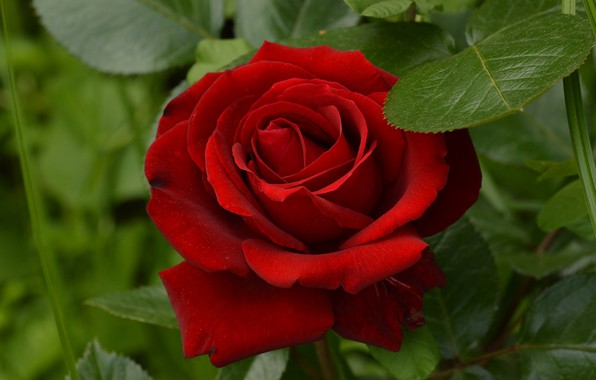 Картинка красный, роза, красавица