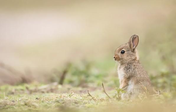 Картинка кролик, малыш, детёныш, боке, крольчонок