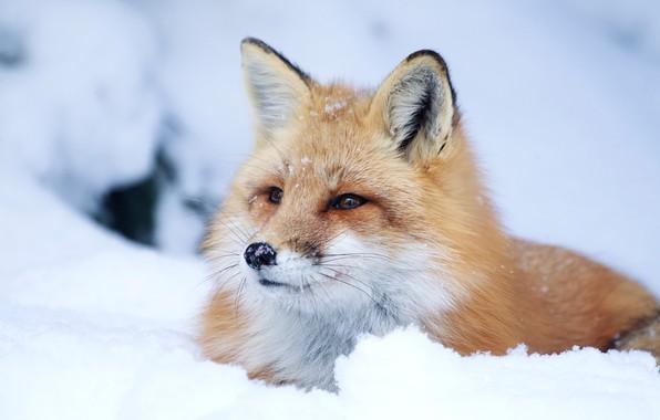 Картинка взгляд, морда, снег, лиса, рыжая
