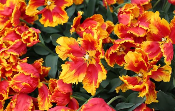 Картинка Тюльпаны, Парк, Голандия