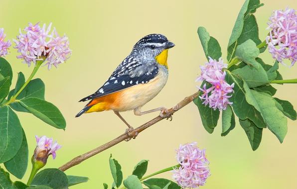 Картинка птица, ветка, цветки, Леопардовая радужная птица