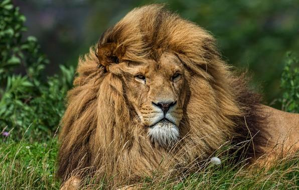Картинка трава, взгляд, морда, кошки, фон, одуванчик, портрет, лев, грива, дикие кошки, дикая природа