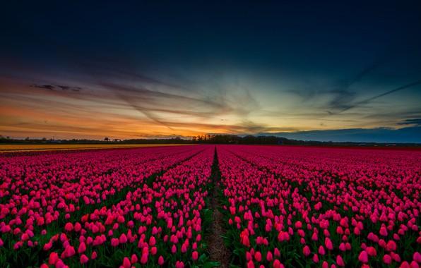 Картинка небо, весна, тюльпаны, красивые