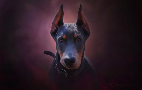 Картинка взгляд, друг, собака, картинка, доберман