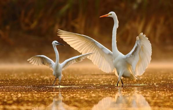 Картинка вода, крылья, танец, клюв, белая цапля