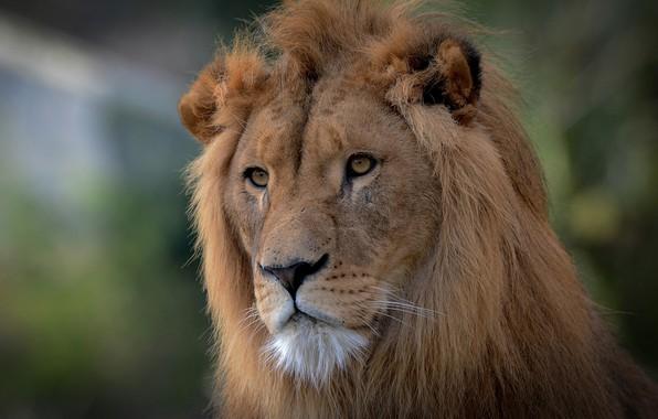 Картинка взгляд, морда, портрет, лев, грива, царь зверей, дикая кошка