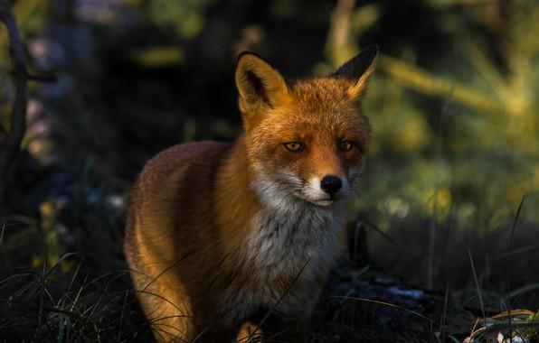 Картинка лес, трава, взгляд, морда, свет, темный фон, портрет, лиса, рыжая, дикая природа, лисица