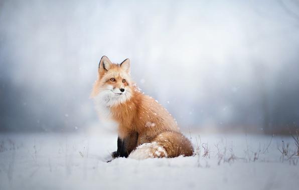 Картинка зима, взгляд, снег, лиса, лис