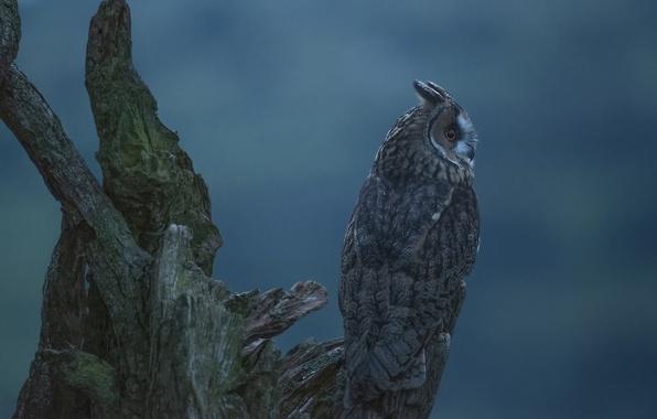 Картинка фон, сова, птица, коряга, Ушастая сова