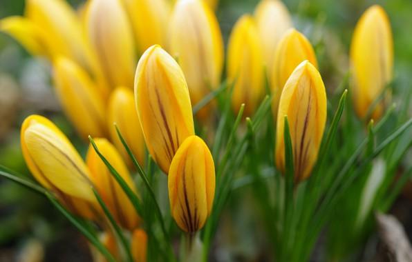 Картинка макро, радость, цветы, природа, красота, растения, весна, крокусы, первоцветы, дача, флора, апрель, жёлтый цвет, луковичные