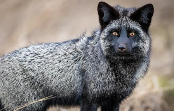 Картинка взгляд, лиса, чернобурка, чернобурая лисица