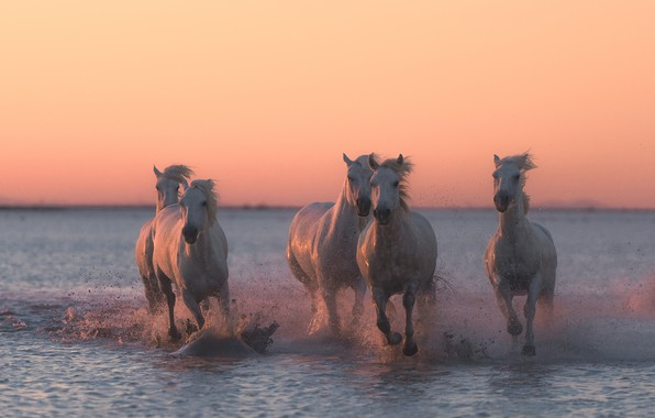 Картинка вода, закат, брызги, кони, лошади, бег