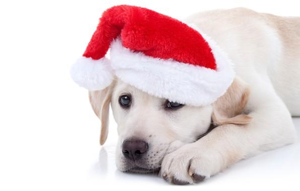 Картинка собака, Новый Год, Рождество, лабрадор, Christmas, dog, колпак, 2018, Merry Christmas, Xmas, funny, cute, decoration, …
