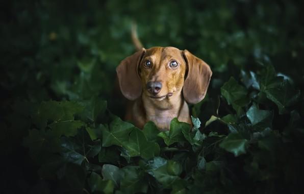 Картинка друг, собака, такса