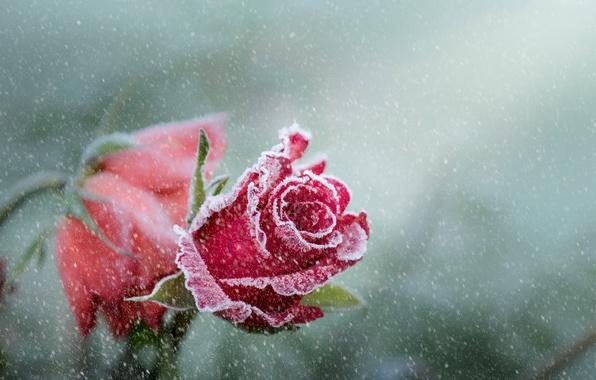 Картинка цветок, снег, роза