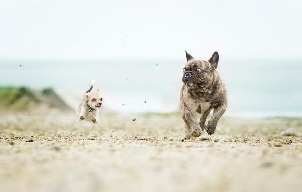 Картинка собаки, чихуахуа, французский бульдог, догонялки, ужас в глазах