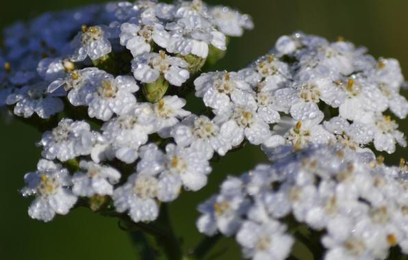 Картинка Капли, Drops, Белые цветы, White flowers