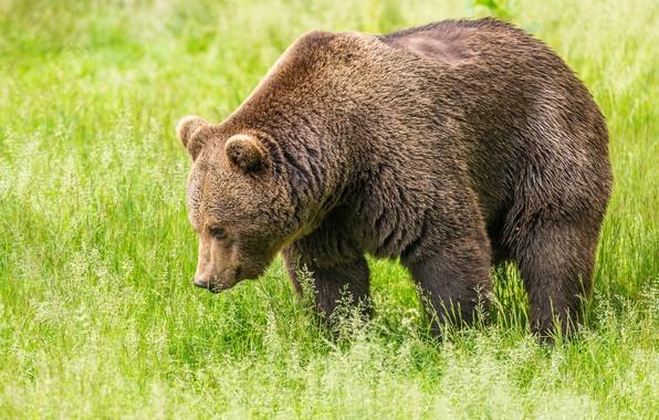 Фото обои бурый, поле, зелень, трава, медведь
