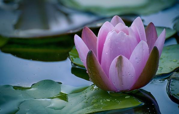 Картинка макро, цветы, природа, боке, нимфея, капли дождя, водяная лилия
