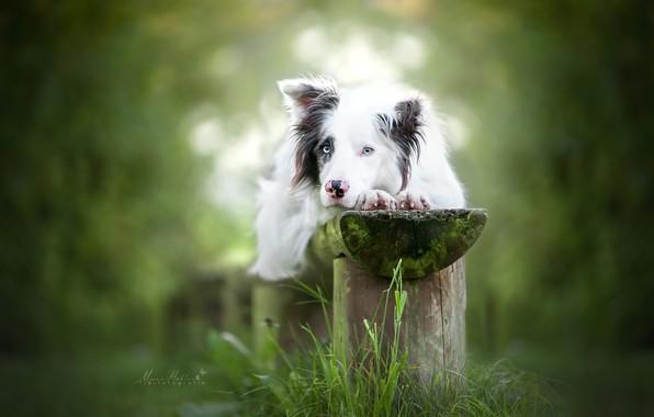 Картинка трава, взгляд, собака, скамья, боке, Бордер-колли