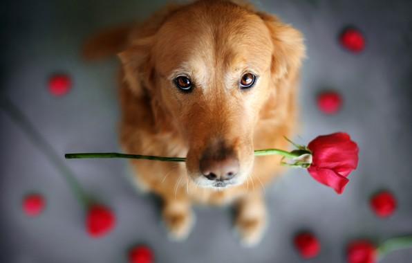 Картинка цветок, взгляд, животное, роза, собака, пёс, ретривер