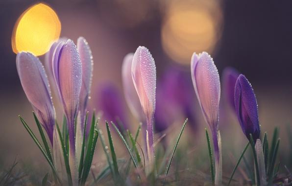 Картинка макро, роса, весна, крокусы, бутоны, боке, шафран
