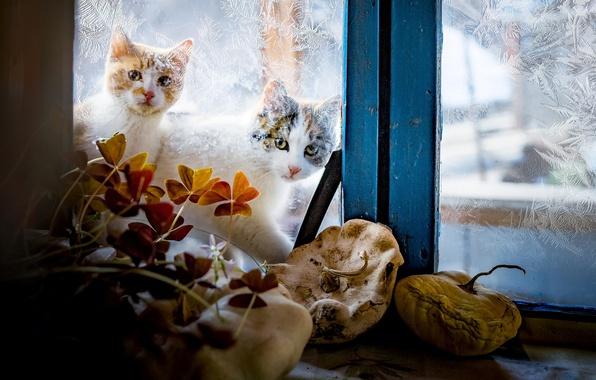 Картинка зима, стекло, кошки, узоры, окно, котэ, за окном, два штуки, котэши
