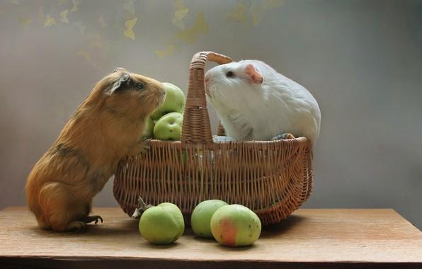 Картинка животные, лето, корзина, яблоки, август, грызуны, морские свинки