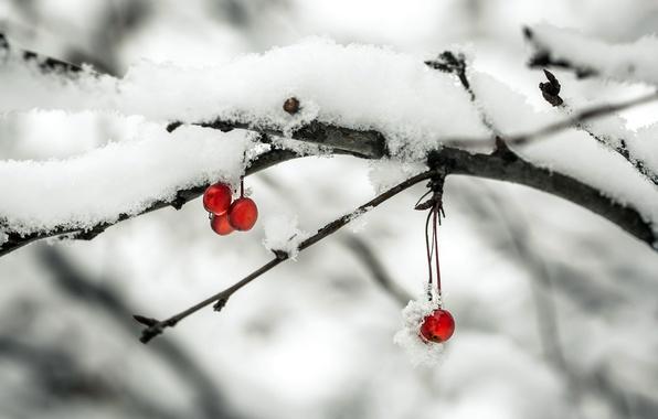 Картинка снег, яблоки, ветка