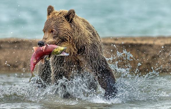 Картинка вода, мокрый, медведь, мишка, добыча, улов, красная рыба