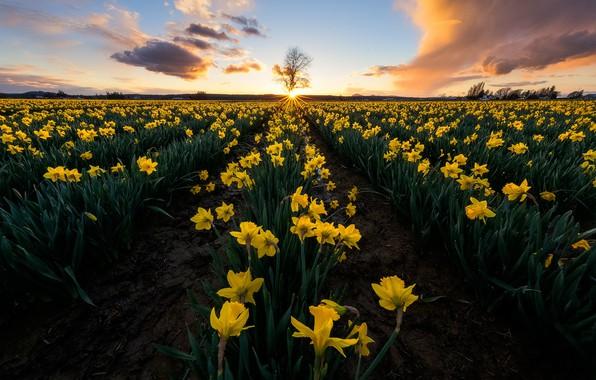 Картинка поле, закат, цветы, дерево, жёлтые, нарциссы, штат Вашингтон, Washington State, Skagit Valley, Долина Скаджит