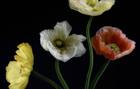 Картинка макро, природа, краски, растение, маки, букет, лепестки
