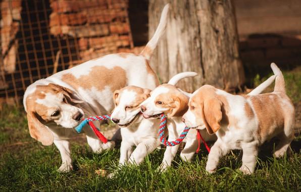 Картинка собаки, трава, дети, фон, поляна, игра, весна, веревка, щенки, канат, щенок, малыши, мама, семейство, бигль, …