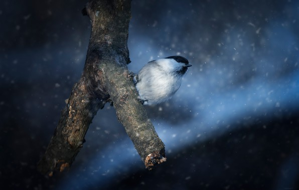 Картинка снег, птица, ветка