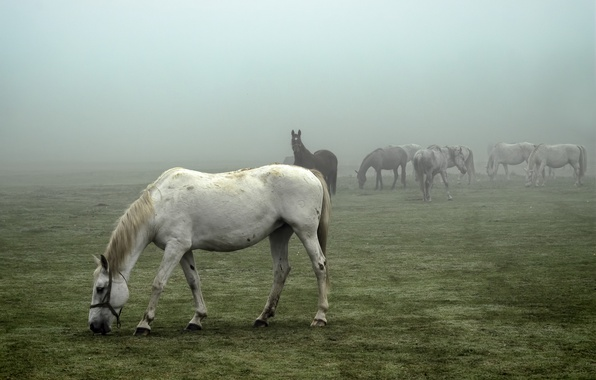 Фото обои field, horses, foggy