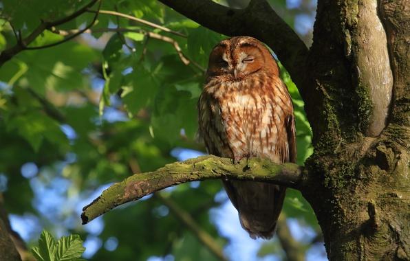 Картинка дерево, сова, птица, на дереве, Серая неясыть