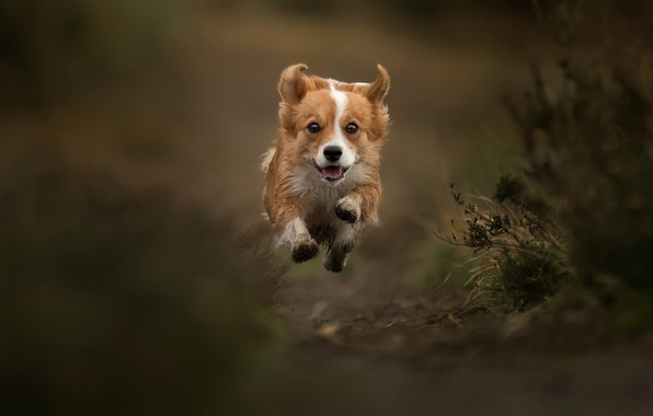 Картинка прыжок, собака, полёт, прогулка, боке, пёсик, левитация, Вельш-корги