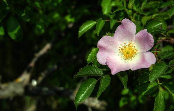 Картинка Макро, Весна, Цветок, Листья, шиповник, Spring, Macro, Leaves, Pink flower