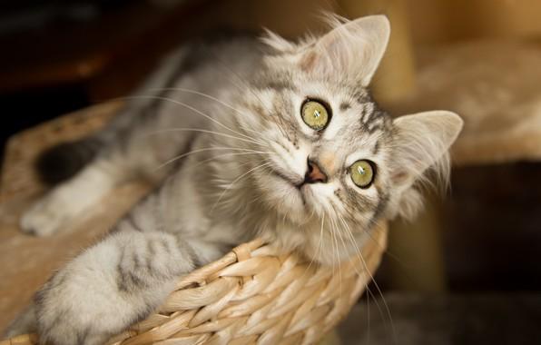 Картинка кошка, кот, взгляд, мордочка, корзинка, котейка