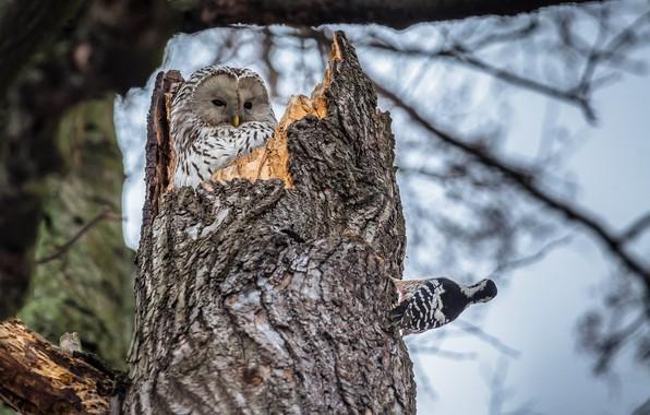 Картинка птицы, природа, дерево, сова, дятел, ствол, дупло