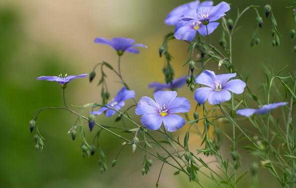 Картинка макро, цветочки, Лён
