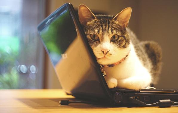 Картинка кошка, кот, взгляд, свет, уют, стол, стена, портрет, техника, окно, офис, классный, устал, лежит, ошейник, ...