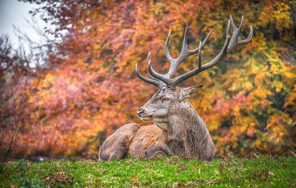 Картинка осень, трава, дождь, олень, рога
