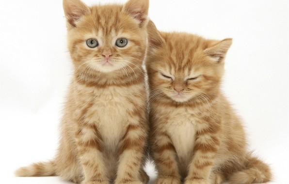 котята картинки рыжие