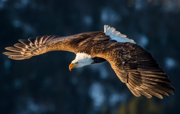 Картинка flight, feathers, eagle, magestuosity