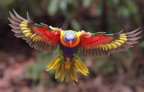 Картинка животные, птица, крылья, размытие, попугай, полёт, расцветка, боке, оперение, многоцветный лорикет